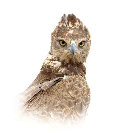 Close up Tawny eagle portrait isolated on white background Foto de archivo - 137754948