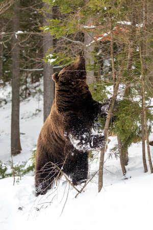 Close wild big brown bear in winter forest Foto de archivo - 137574080
