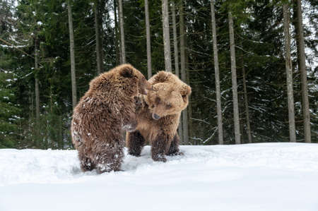Bears family goes through the winter forest Foto de archivo - 137573847