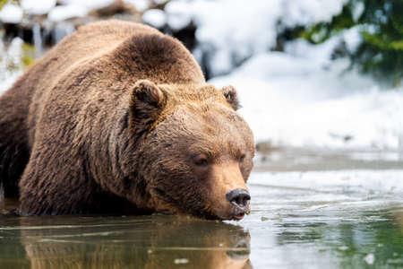 Close wild big brown bear near a forest lake Foto de archivo - 137573268
