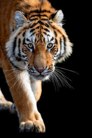 Zamknij się piękny zły duży tygrys na białym tle na czarnym tle