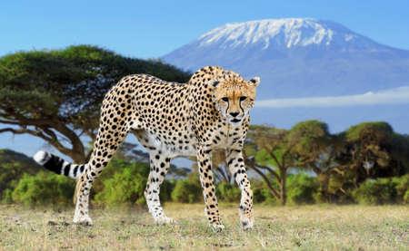 Wild african cheetah on Kilimanjaro background. Africa, Kenya