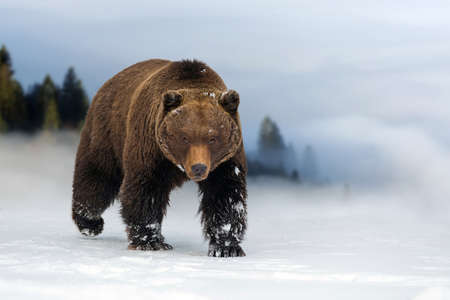 Close wild big brown bear in winter time Stock Photo
