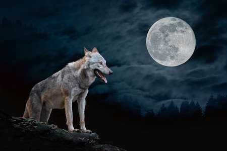 Wolf stands on the edge of a rock at night against a full moon background