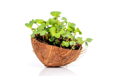 Microgreen sprouts raw sprouts, healthy eating concept in coconut on white background. Fresh natural organic product