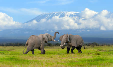Large adult elephant with a snow covered Mount Kilimanjaro in the background. Amboseli National park, Kenya, Africa. Animal in the habitat. Wildlife scene from nature
