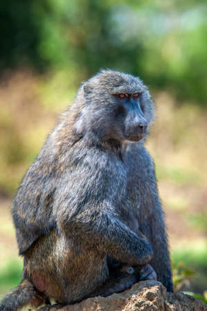 Young olive baboon in Masai Mara National Park of Kenya, Africa. Animal in the habitat. Wildlife scene from nature Stockfoto