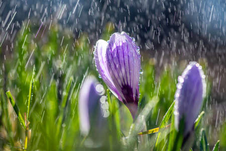 Beautiful spring crocus in the spring rain. Saffron in the garden on the lawn. Waterdrops on flowers