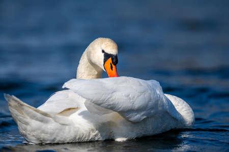 Mute swan swimming in clear deep blue lake