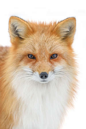 Portrait Red Fox, Vulpes vulpes, beautiful animal on white background. Wildlife nature