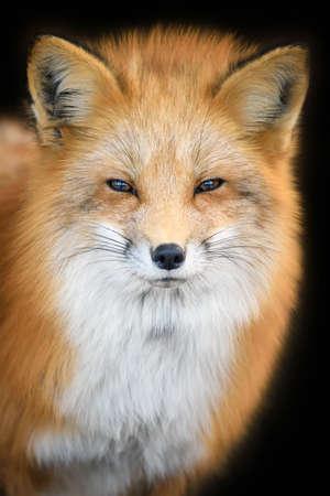 Portrait Red Fox, Vulpes vulpes, beautiful animal on black background. Wildlife nature