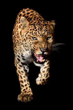 Close up beautiful angry big leopard isolated on black background