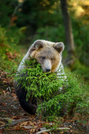 Close up Big brown bear in the forest. Dangerous animal in natural habitat. Wildlife scene Standard-Bild