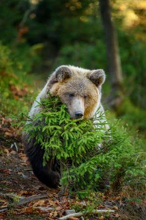 Close up Big brown bear in the forest. Dangerous animal in natural habitat. Wildlife scene Foto de archivo