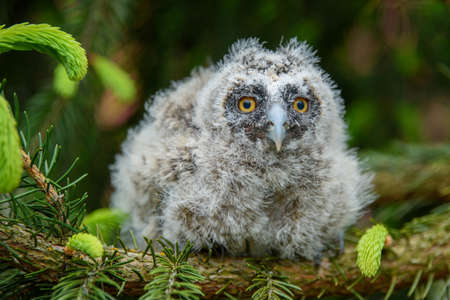 Baby Long-eared owl owl in the wood, sitting on tree trunk in the forest habitat. Beautiful small animal in nature
