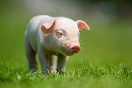 Funny  little ping piglet on spring green grass. Farm concept 版權商用圖片