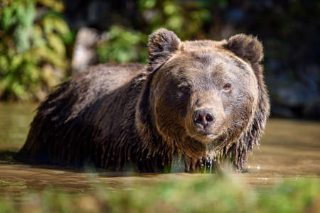 Bear in water. Beautiful animal in forest lake. Dangerous animals in river. Wildlife scene with Ursus arctos