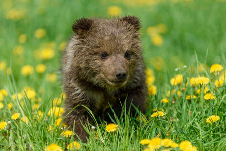 Bear cub in spring grass. Dangerous small animal in nature meadow with yellow flowers. Bear without mother. Wildlife scene 版權商用圖片