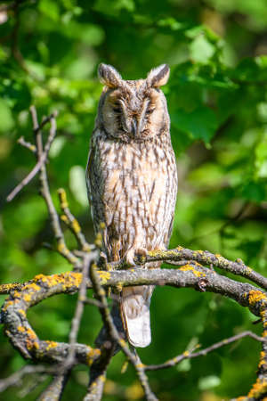 Long-eared owl owl in the wood, sitting on tree trunk in the forest habitat. Beautiful animal in nature