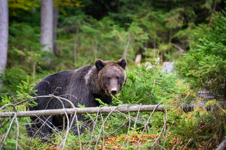 Close up Big brown bear in the forest. Dangerous animal in natural habitat. Wildlife scene