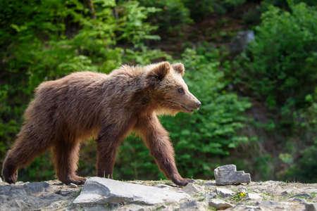 Close up brown bear in the forest. Dangerous animal in natural habitat. Wildlife scene 版權商用圖片