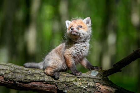 Red fox, vulpes vulpes, small young cub in forest on branch. Cute little wild predators in natural environment. Wildlife scene from nature