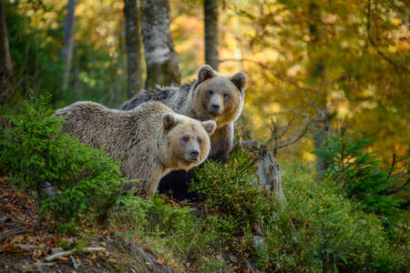 Close up two big brown bear in the forest. Dangerous animal in natural habitat. Wildlife scene