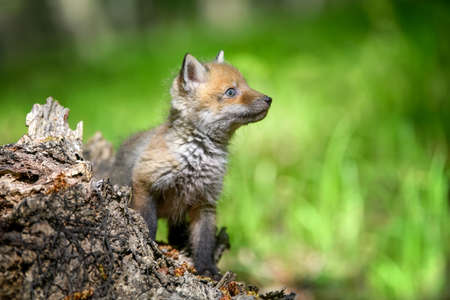 Red fox, vulpes vulpes, small young cub in forest on stump. Cute little wild predators in natural environment. Wildlife scene from nature