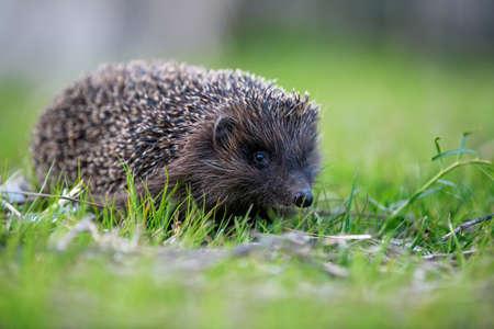 Hedgehog in green grass. Wildlife scene from nature. Animal in natural garden habitat