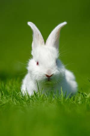 Funny little white rabbit on spring green grass. Farm concept Standard-Bild