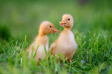 Funny Little yellow duckling on spring green grass. Farm concept