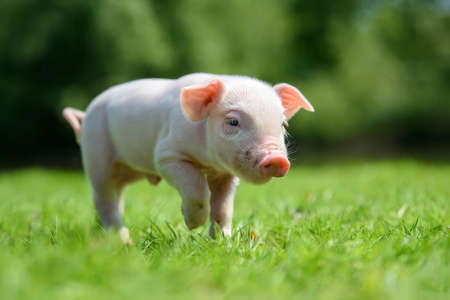 Funny little ping piglet on spring green grass. Farm concept