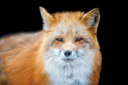Portrait Red Fox, Vulpes vulpes, beautiful animal on black background. Wildlife nature