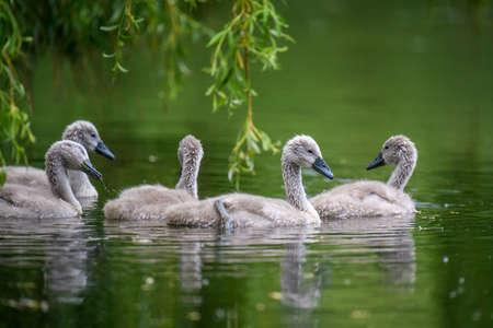 Five cygnets on summer day in calm water. Bird in the nature habitat. Wildlife scene Archivio Fotografico
