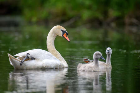 Mute swan Cygnus olor with baby. Cygnets on summer day in calm water. Bird in the nature habitat. Wildlife scene Archivio Fotografico