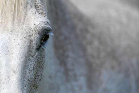 Eye of a grey horse, lit by the sun. Focus on the eyelashes. Animal on farm Archivio Fotografico