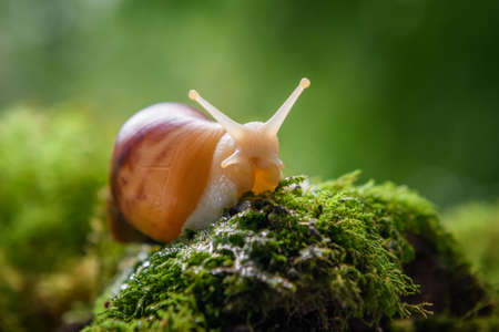 Close up brown snail (African snail, Achatina fulica) creeps on the of the green moss