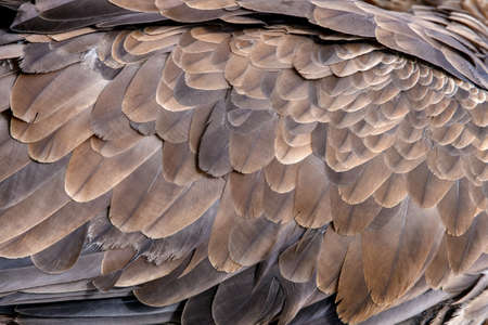 Closeup texture of brown eagle feathers