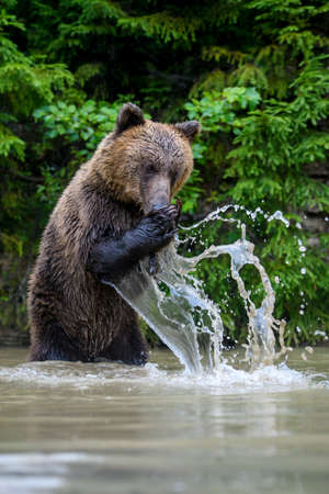 Funny wild adult Brown Bear (Ursus Arctos) standing on his hind legs in the water. Dangerous animal in nature. Wildlife scene