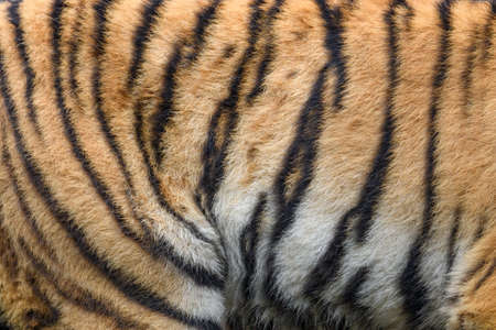 Closeup real tiger skin texture. Tigris fur background texture image background