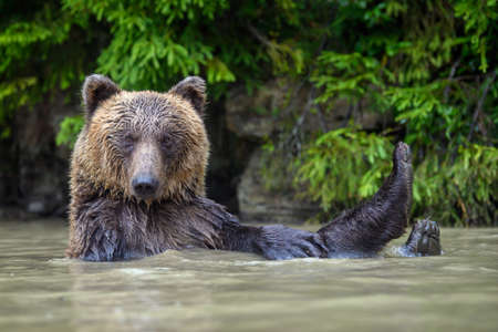 Funny wild adult Brown Bear (Ursus Arctos) in the water. Dangerous animal in nature. Wildlife scene