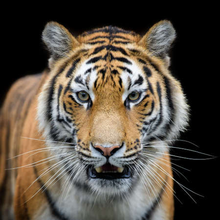 Beautiful close up detail portrait of big Siberian or Amur tiger on black background