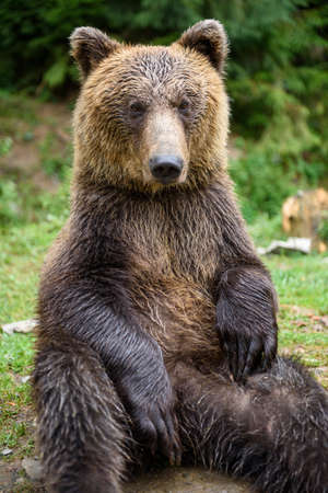 Close up brown bear sitting in funny pose in summer forest