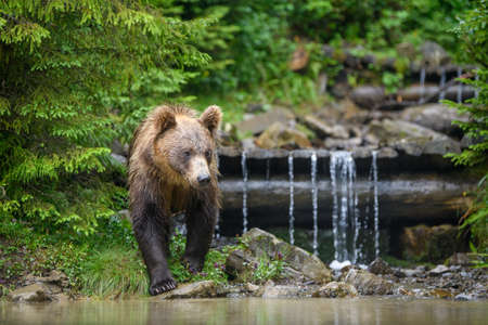 Wild adult Brown Bear (Ursus Arctos) in the water. Dangerous animal in nature. Wildlife scene