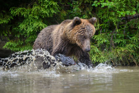 Wild adult Brown Bear (Ursus Arctos) splashing in the forest lake. Dangerous animal in nature. Wildlife scene