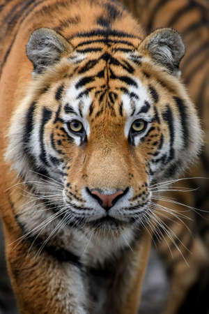 Beautiful close up detail portrait of big Siberian or Amur tiger