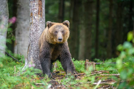 Wild adult Brown Bear (Ursus Arctos) in the summer forest. Dangerous animal in nature. Wildlife scene Zdjęcie Seryjne