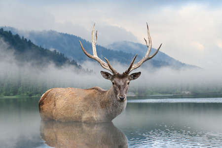 Beautiful deer stag swimming in lake on mist mountain landscape with fog