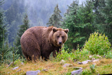 Wild adult Brown Bear (Ursus Arctos) in the mountain summer forest