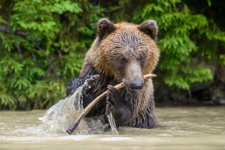 Wild adult Brown Bear (Ursus Arctos) played with a stick in a forest lake. Dangerous animal in nature. Wildlife scene